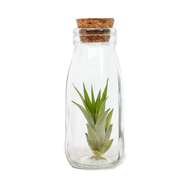 Klaaspudelis taim Tillandsia (roheline)