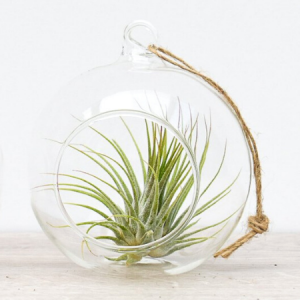 Klaaskuulis taim Tillandsia (roheline)