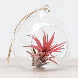 Klaaskuulis taim Tillandsia (punane)
