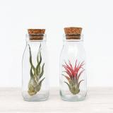 Klaaspudelis taim Tillandsia (punane)