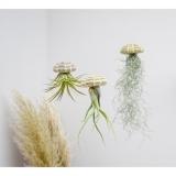 Rippuv taim Tillandsia (multiflora)
