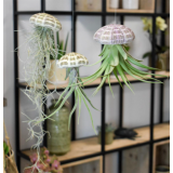 Rippuv taim Tillandsia (spanish moss)