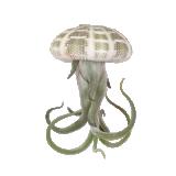 Rippuv taim Tillandsia (caput medusae)